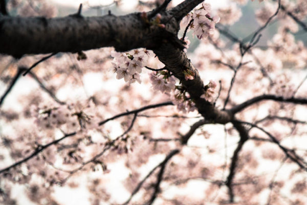 One of the reasons that I love the blossoms is that they contrast so much with the dark branches.