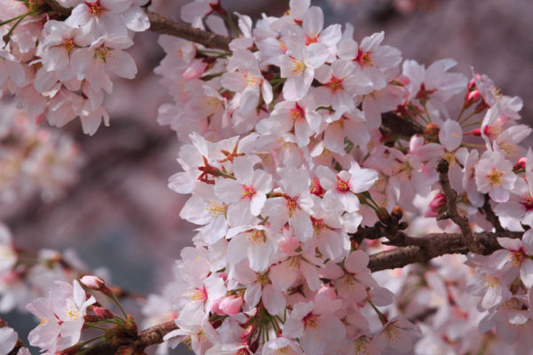 in just under a 2 weeks most of the blossoms are gone.