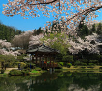 The blossom season is in full swing in Gyeongju, South Korea