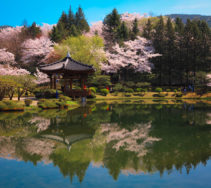 One of the top destinations in Gyeongju during the blossom season